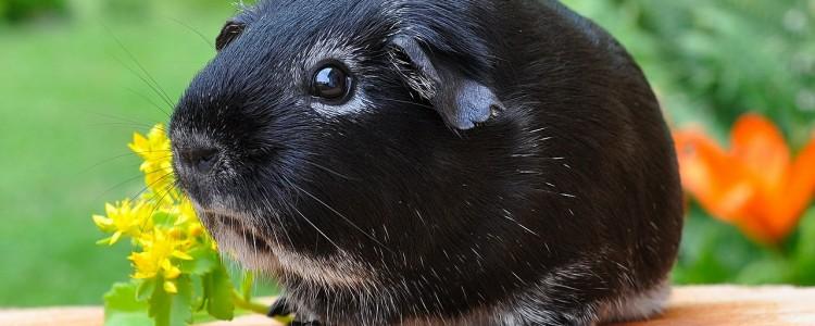 guinea-pig-500236_1280